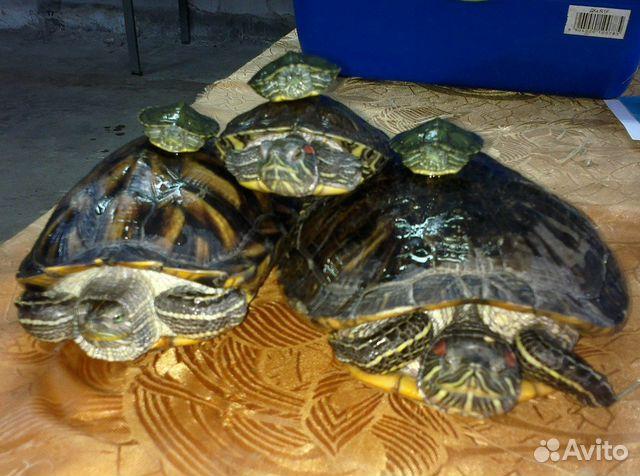 Красноухая черепаха размер в домашних условиях - Wolfbrothersm.ru