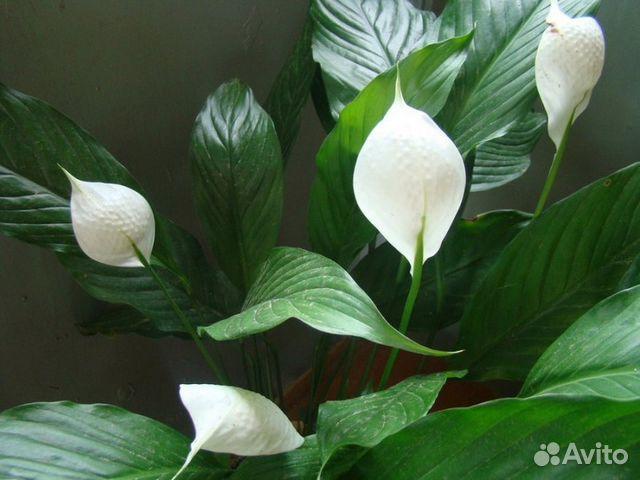 Женское счастье цветок