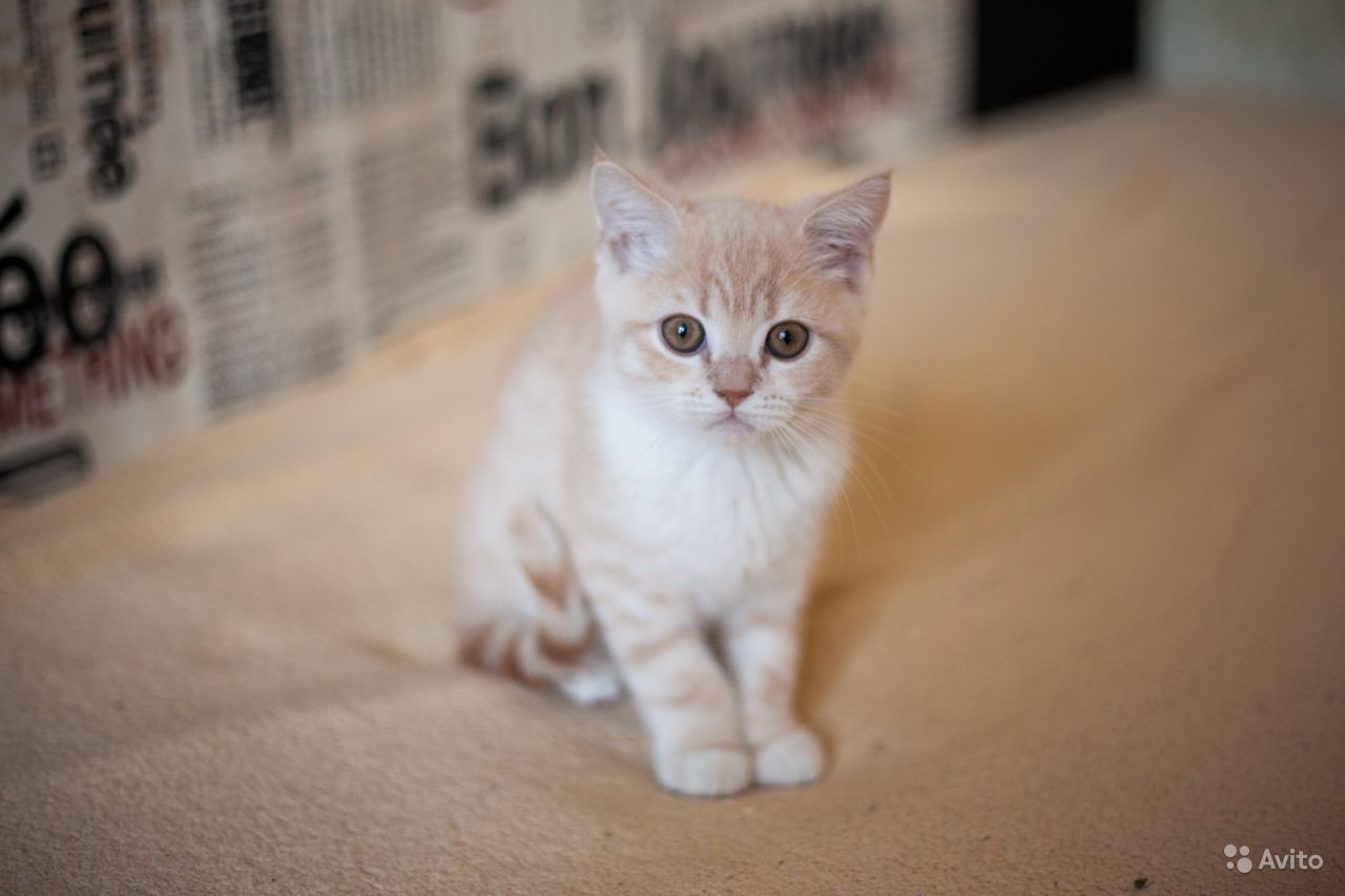 Котята шотландские в Щербинке - фотография № 4