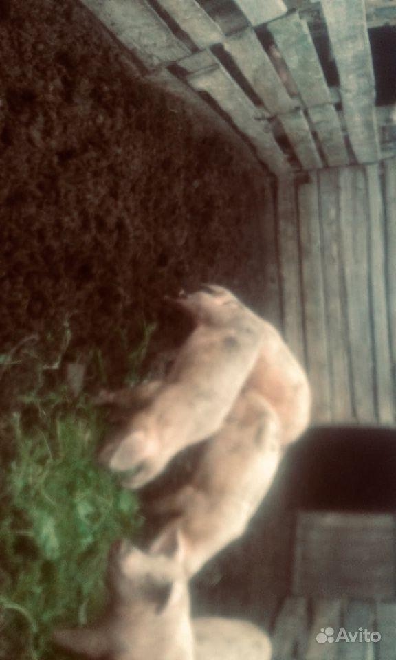 Свиньи хряки в Марьяновке - фотография № 1