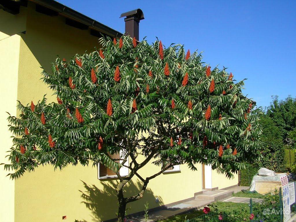 Сумах или уксусное дерево купить на Зозу.ру - фотография № 3