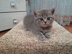 Частные объявления и сайты о продаже британских котят сниму 2-х комнатную квартиру в москве без посредников частные объявления