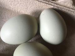 Инкубационные яйца арауканов
