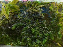 Травка аквариумная