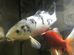 Аквариумная рыбка большого размера