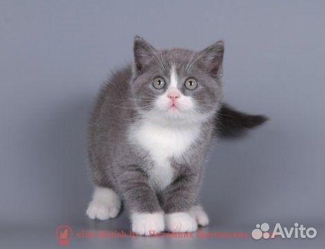 котята британские голубой на белом фото #11