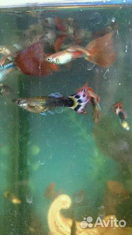 Рыбы гуппи 89605229023 купить 2