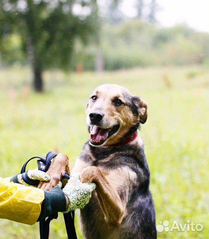 Отдам в добрые руки собаку Стенли купить на Зозу.ру - фотография № 1