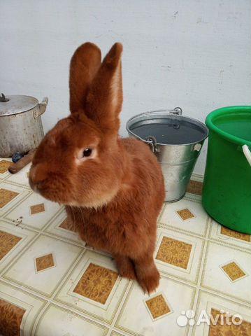 Племенные кролики 89065705365 купить 5