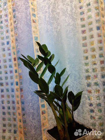Долларовое дерево-замиокулькас  89101619524 купить 1