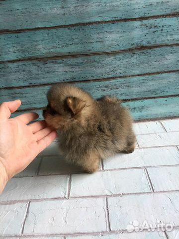 Продаются взрослые шпицы и щенки купить на Зозу.ру - фотография № 8