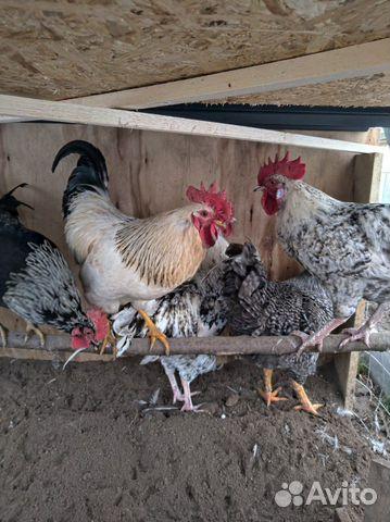 Курицы калуги сайт фото