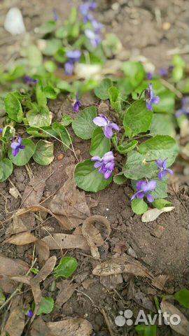 Ранние садовые многолетники 89806701171 купить 1
