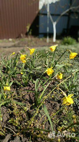 Ранние садовые многолетники 89806701171 купить 2