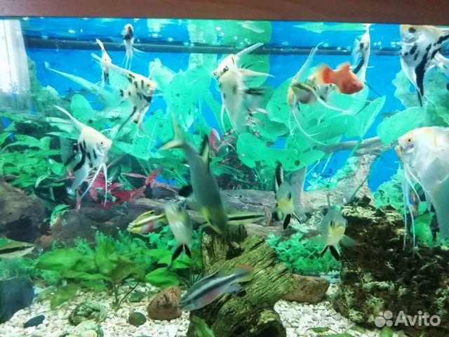 Аквариумные рыбки купить 2