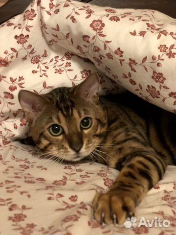 Бенгальский котик вязка  купить 5