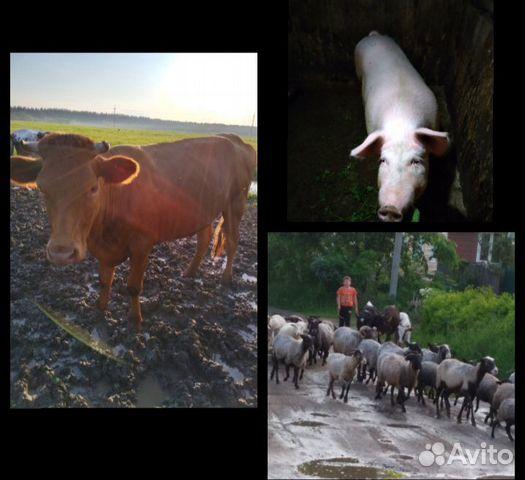 Сельхоз животные 89101862567 купить 1