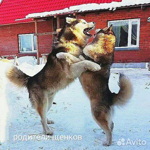 Аляскинский маламут купить 7