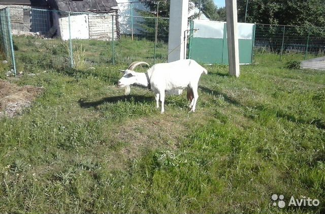 Goats and kids 89525959947 buy 2