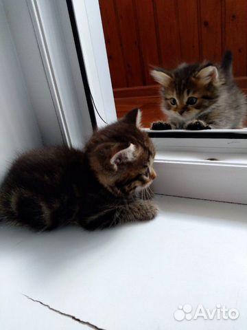 Продажа кошек шотландской породы купить 4