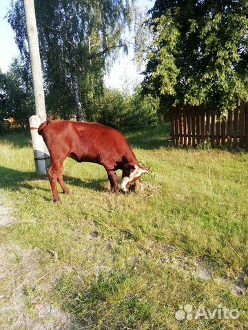 Корова  купить 7
