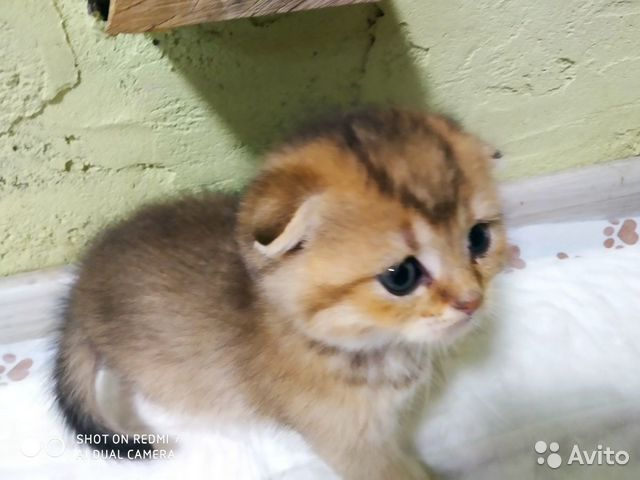 Котята редких золотых окрасов