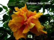 Сортовой гибискус tahitian solar wind
