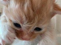 Котята рыжие, и мальчики и девочки