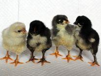 Утята,цыплята
