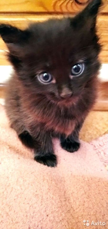 Кошка  89029455536 купить 2