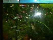 Гуппи взрослые, улитки, растения в аквариум