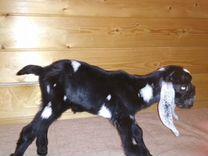 Нубийские козы из США