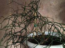 Хатиора — Растения в Екатеринбурге