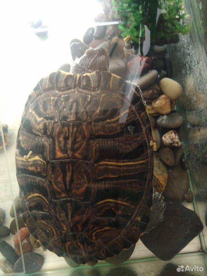 Лабрадор, черепаха