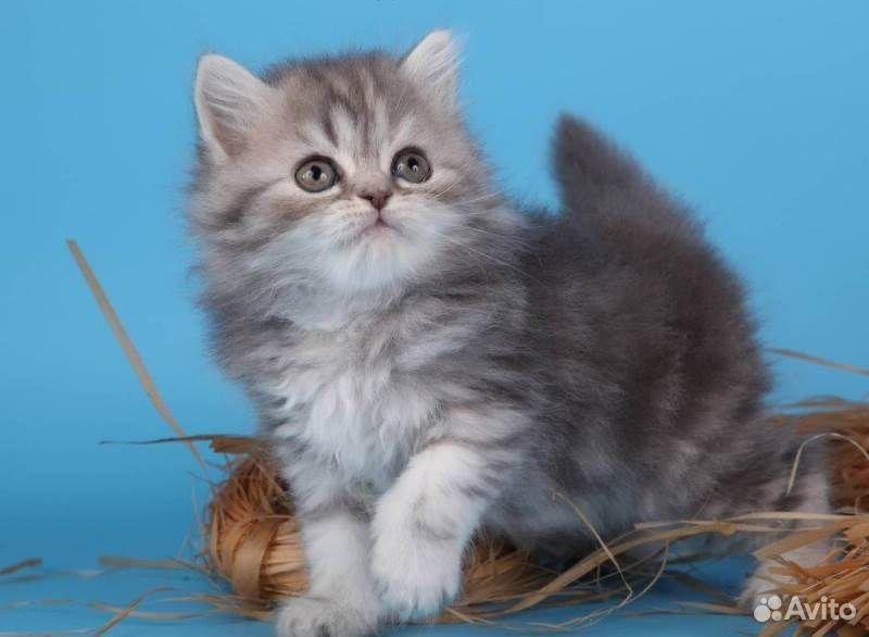 Skotska kattunge